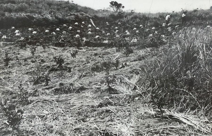 育成は上々 植え付け、昭和37年